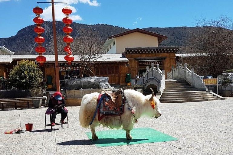 Tibetan Mastiff y el yak